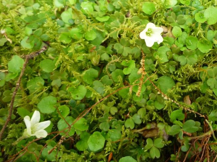 ニュージーランドの花(植物)